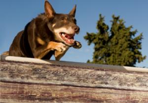 Back to the Bush website images dog high jump